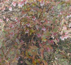 ブルーベリーの花01.jpg